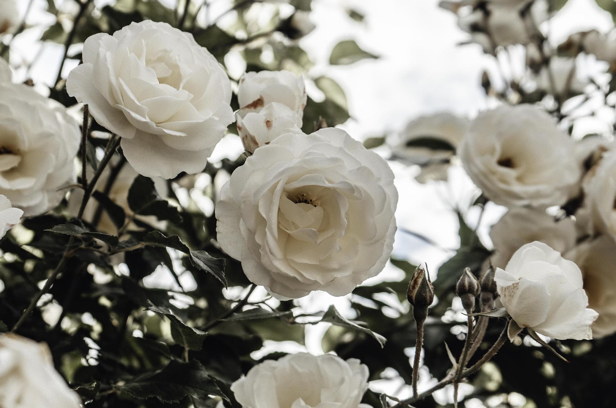 白いばらの写真